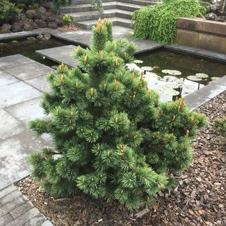Pinus aristata 'Timberline'