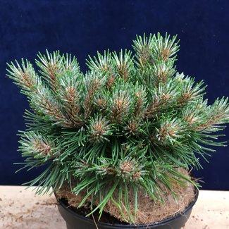 Pinus uncinata 'Gloria'