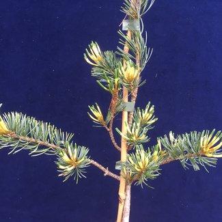 Pinus parviflora 'Shikoku-goyo'