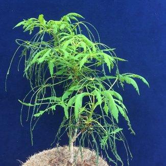 Aesculus hippocastanum 'Laciniata'