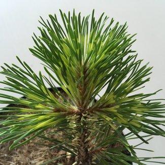 Pinus uncinata 'Billabong'