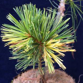 Pinus parviflora 'Cedar Lodge'