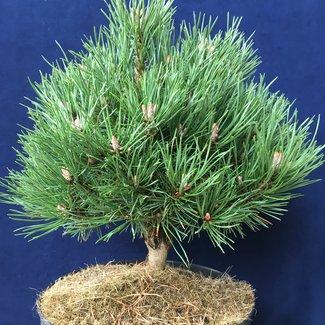 Pinus uncinata 'Dom'
