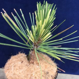 Pinus thunbergii 'Frosty Patches'