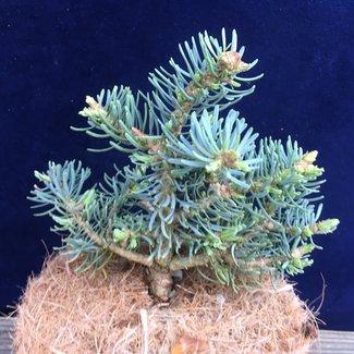 Abies concolor 'Blue Sapphire'
