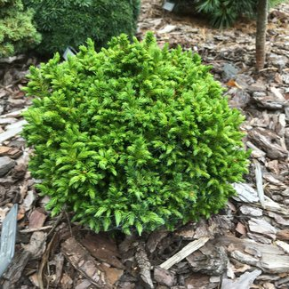 Cryptomeria japonica 'Green Pearl'