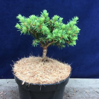 Picea abies 'Wagner'