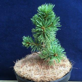 Pinus parviflora 'Alco Goya'