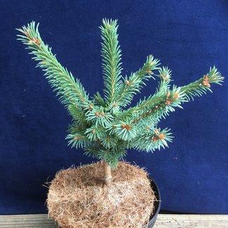 Picea mariana 'Edelweiss'