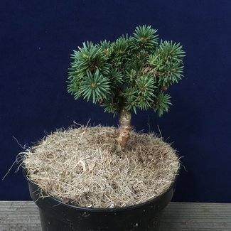 Picea abies 'Svaty Jan'
