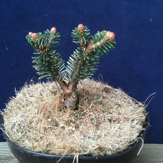 Abies delavayi 'Major Neishe'