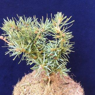 Abies concolor 'Nachyla'