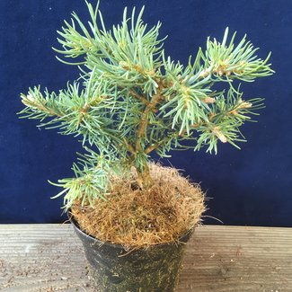 Abies concolor 'Topinka Hexe'