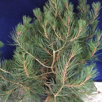 Pinus banksiana 'REL WB'