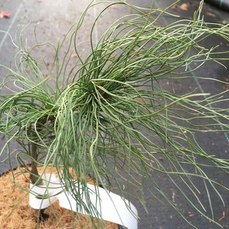 Pinus strobus 'Emily's Fuzzy Wuzzy'