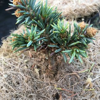 Picea pungens 'Mseno'