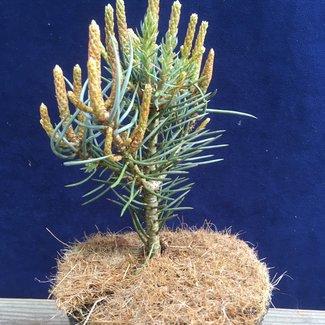 Pinus monophylla 'Sunrise'