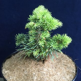 Abies concolor 'Zidenice'