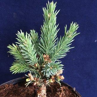 Picea engelmannii 'Mistoya Canyon'