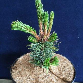 Pinus aristata 'Silver Doll'