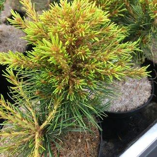 Pinus parviflora 'Middeltip'