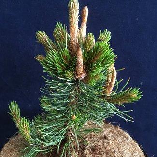Pinus aristata 'Bingo'