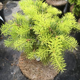 Abies concolor 'Scooter'
