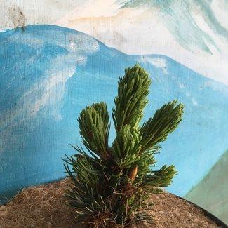 Pinus aristata 'Rolling Rock'