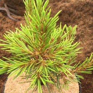 Pinus bungeana 'Diamant'