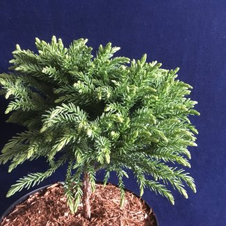 Cryptomeria japonica 'Hide'