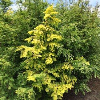 Metasequoia glyptostroboides 'Goldrush' ('Ogon')