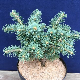 Abies concolor 'Olson Broom'
