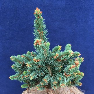 Picea abies 'Mauthneralm'