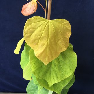 Cercis canadensis 'The Rising Sun'
