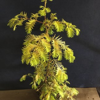 Metasequoia glytpstroboides ' Golden Dawn'