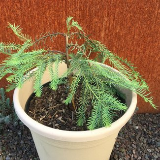 Metasequoia glyptostroboides 'Bonsai'