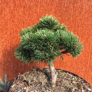 Pinus rotundata 'Buch Fink'