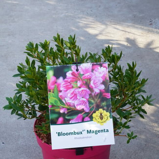 Rhododendron 'Bloombux ® Magenta'