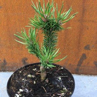 Pinus banksiana 'Martin Novák'