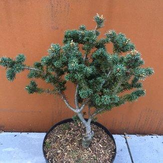 Pinus parviflora 'Jim's Mini Curls'