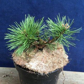Pinus mugo 'Champ'