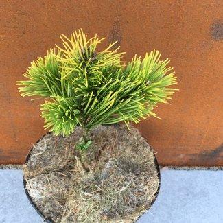 Pinus mugo 'Starkl'