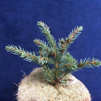 Picea mariana 'Seney'