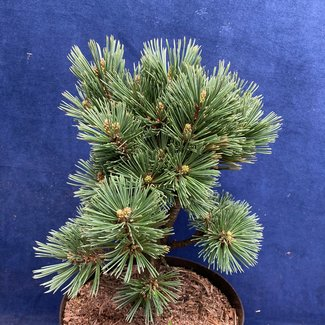 Pinus flexilis 'Glenmore Dwarf'