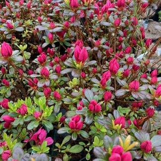 Rhododendron obtusum 'Geisha Pink'