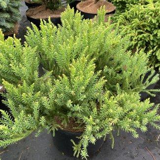 Cryptomeria japonica 'Aritaki'
