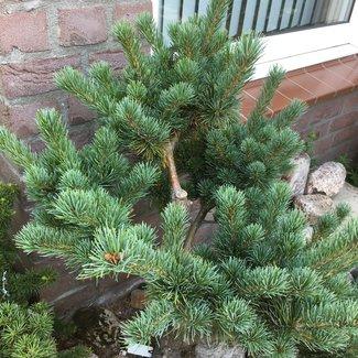 Pinus parviflora 'Aoi'