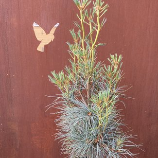 Pinus strobus 'Blue Clovers'