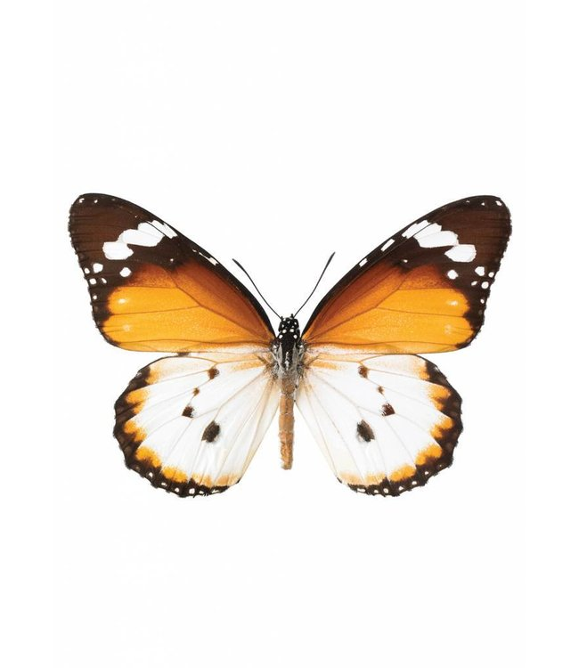 Wall sticker Butterfly 950, 17 x 11 cm