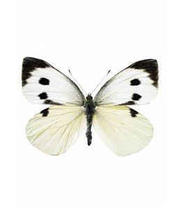 Hagedornhagen muursticker Butterfly 956